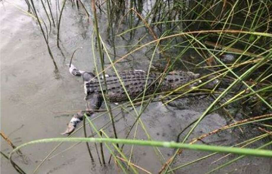 Texas game wardens are searching for those responsible for killing an alligator and cutting off its tail. Photo: Texas Game Wardens
