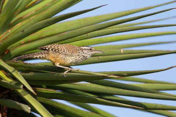 Cactus wrens are robust, strong-legged birds the size of a cardinal. Males and females look the same.