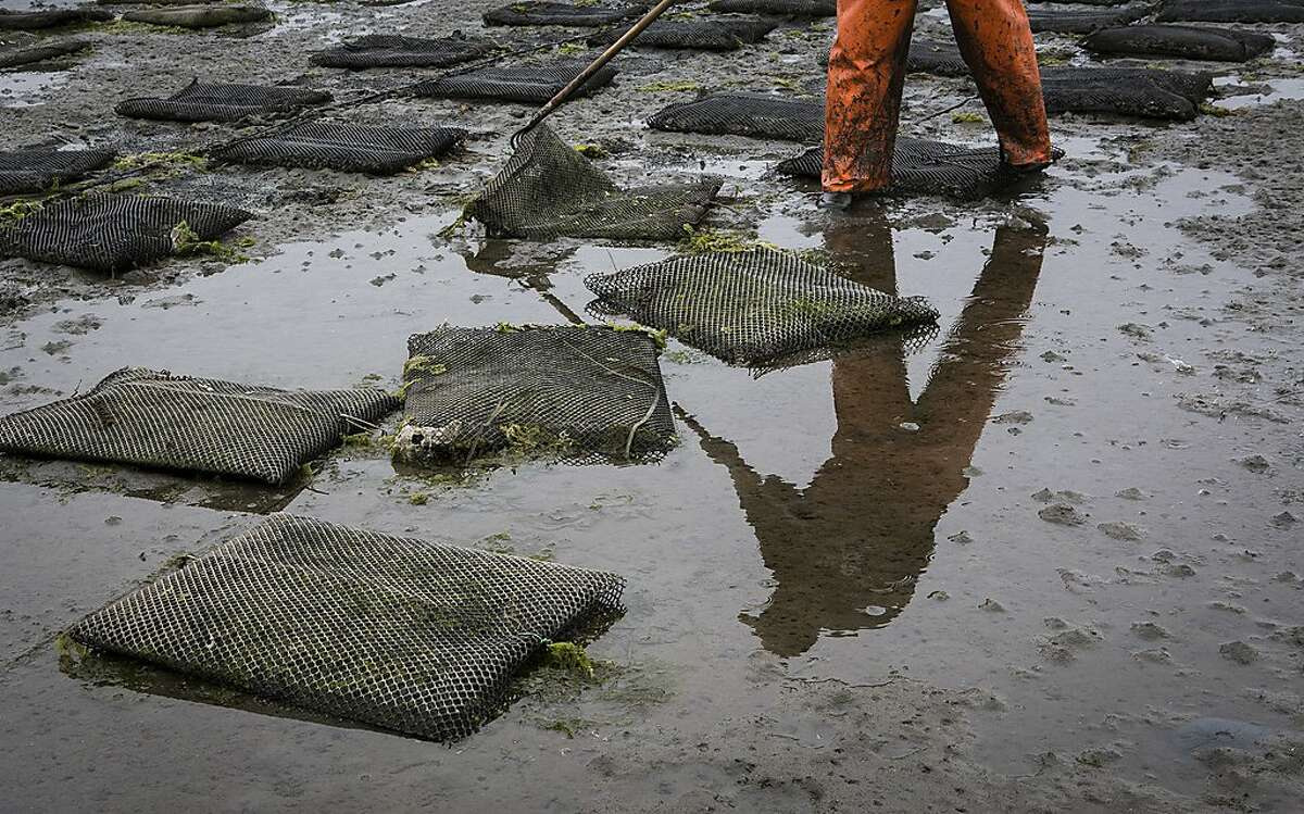 Josue Beltran of Hog Island Oyster Company flips bags of oysters during a morning of maintenance at Tomales Bay, Calif., on Friday, July 3, 2015. Maintenance is done at low tide so that the oyster beds, which would be inaccessible on a high tide, can be worked on by employees.
