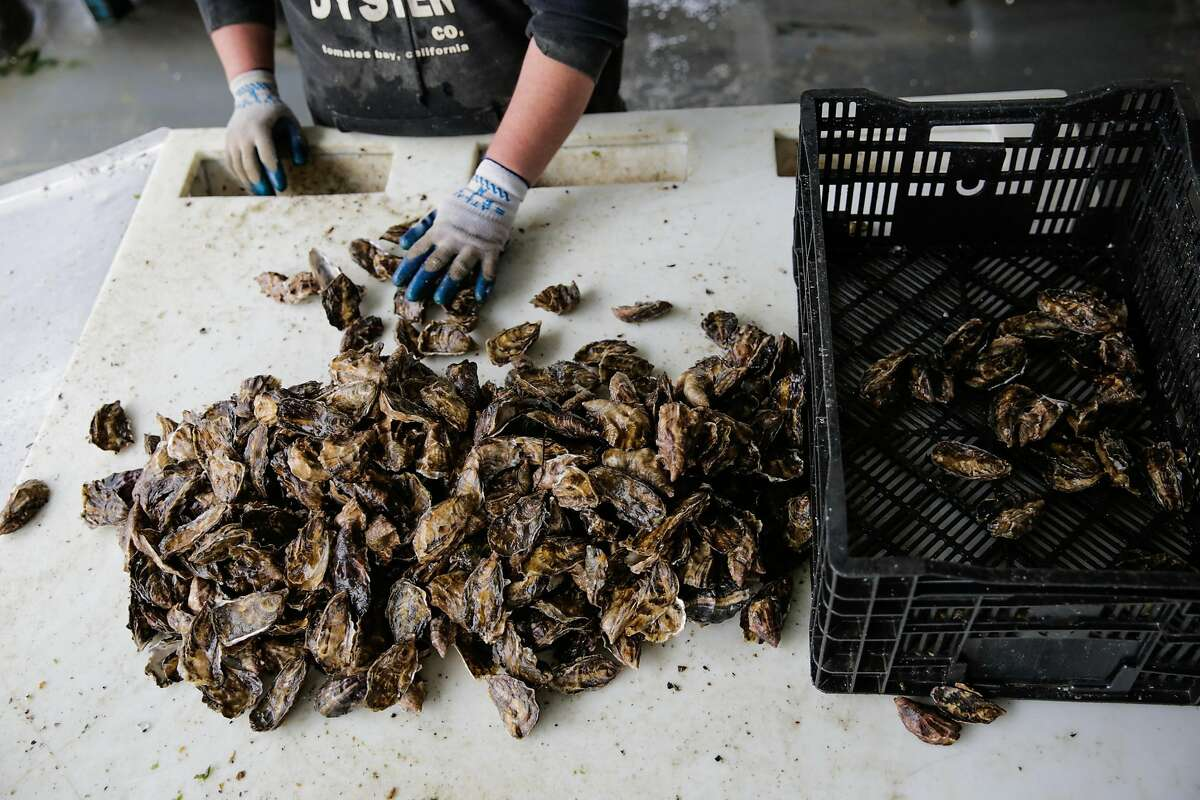 A Hog Island Oyster Company employee sorts oysters, at the company headquarters in Marshall, California, on Wednesday, Oct. 12, 2016.