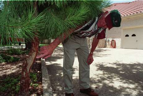 A man inspects a pine tree damaged by a deer from rubbing against it.