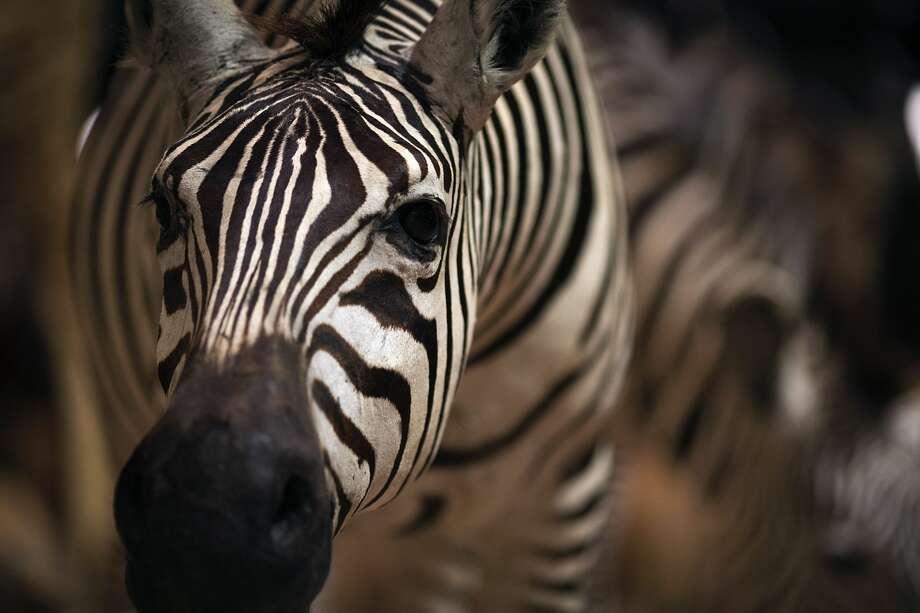 New Braunfels police, helicopter track missing zebra