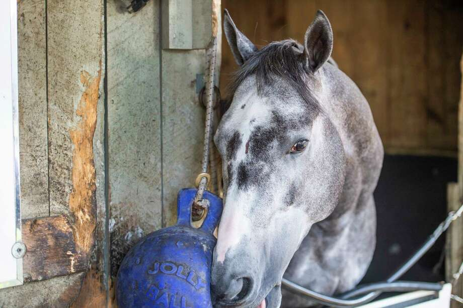 Gidu hangs out in his stall in trainer Todd Pletcher's training barn on the Oklahoma Training Center adjacent to the Saratoga Race Course waiting to watch one of his horses to work Thursday Aug. 8, 2019 in Saratoga Springs, N.Y.  Photo Special to the Times Union by Skip Dickstein