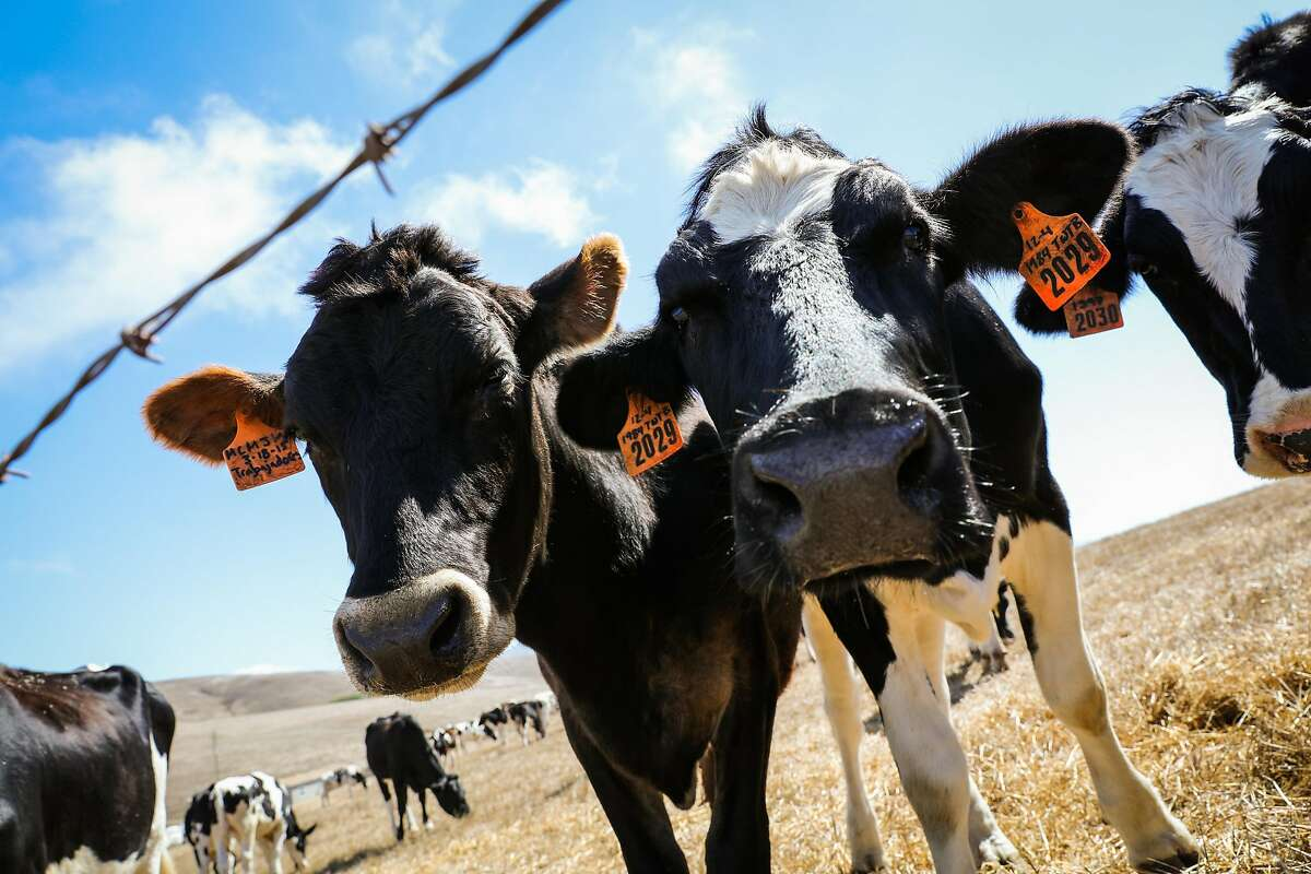 Cows are seen while grazing at Point Reyes Farmstead Cheese Company, in Marin, California, on Thursday, Sept. 22, 2016.