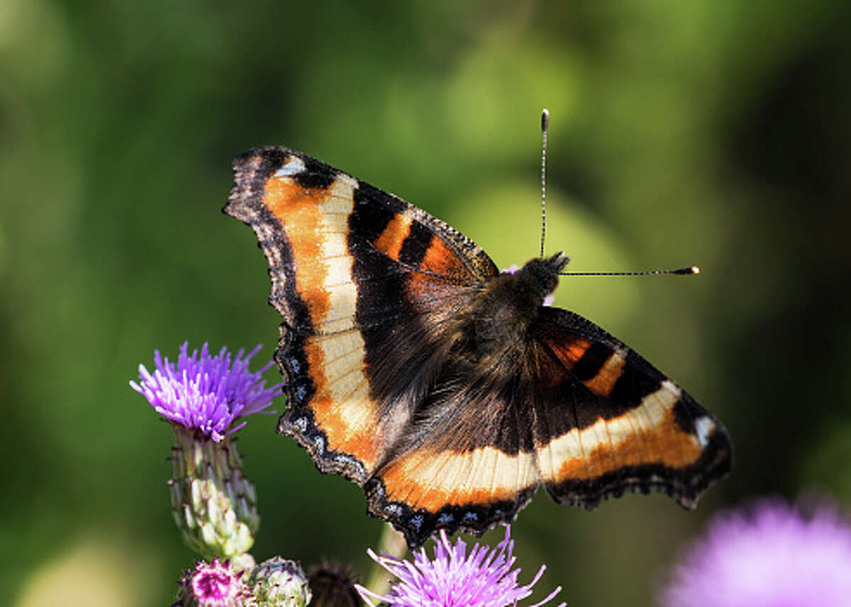 File photo - A tortoiseshell butterfly photographed in Oregon.