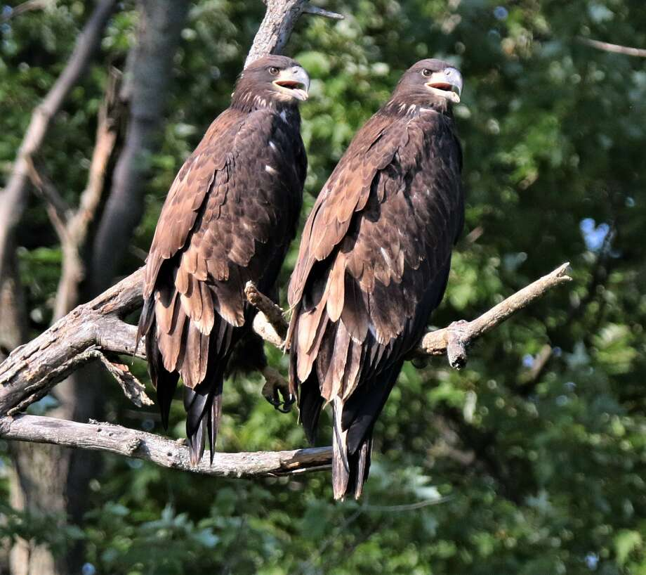 "This pair of eagles at Thompson's Lake, fledged this spring, enjoy the company of each other a€"" at least for now, says Joe Sheehan of Voorheesville."