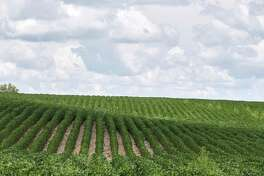 FILE - This Monday, July 30, 2018 file photo shows rows of soybean plants in a field near Bennington, Neb. A report by the United Nations released on Thursday, Aug. 8, 2019 says that human-caused climate change is dramatically degrading the planeta€™s land, while the way people use the Earth is making global warming worse. The vicious cycle is already making food more expensive, scarcer and even less nutritious, as well as cutting the number of species on Earth, according to a special report by the Intergovernmental Panel on Climate Change. (AP Photo/Nati Harnik)