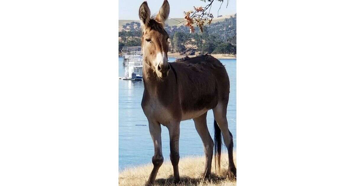 """Pictured is """"Hillary,"""" a donkey which has become stranded on an island that formed in Lake McClure in Mariposa County after winter rains refiled the reservoir and """"Hillary"""" became separated from the other donkeys in her herd. She has been living alone on the island for two years. Now, there is a rescue effort forming but it has become tangled in a discussion as to whether or not to remove her and if so, who would pay for it."""
