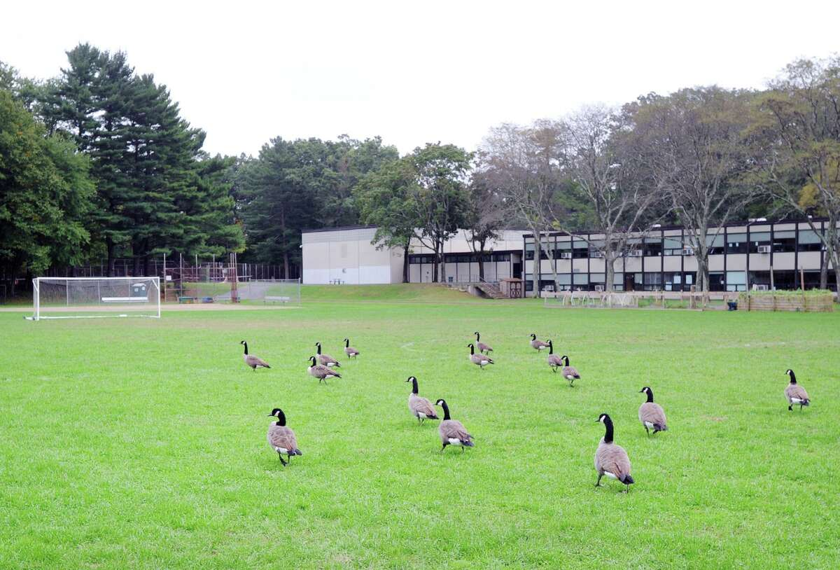 A flock of Canada geese occupy the athletic field at Central Middle School in Greenwich, Conn., Thursday, Oct. 4, 2018.