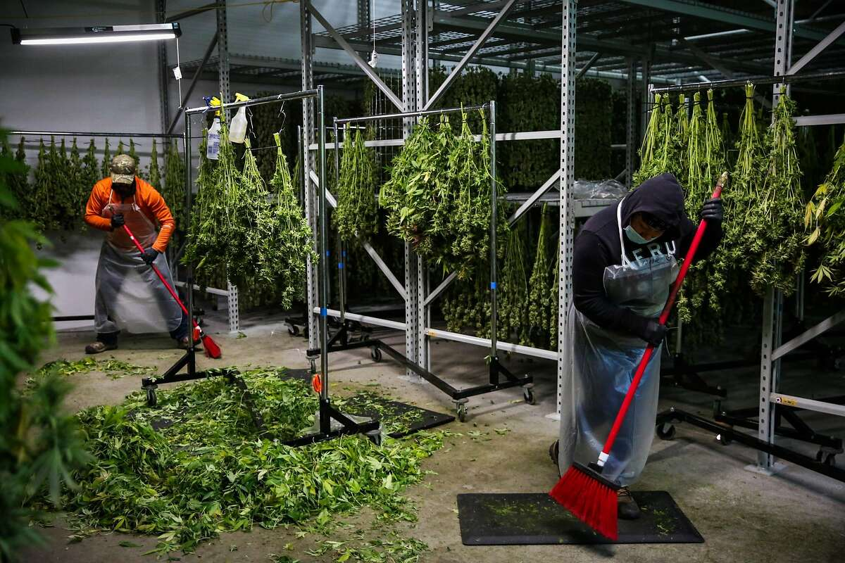 Workers Tony Ahumada (left) and Isabel Hernandez sweep the floor of marijuana leaves after a full day of harvest at Harboside Farms in Salinas, Calif., on Thursday, July 20, 2017.