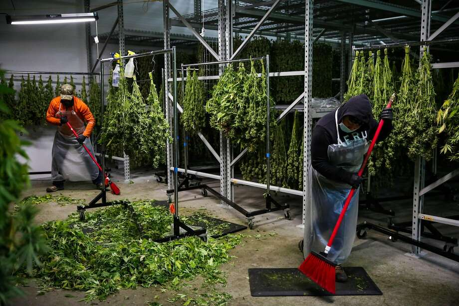 Tony Ahumada (left) and Isabel Hernandez sweep the floor of marijuana leaves after a full day of harvest at Harborside Farms in Salinas in 2017. Photo: Gabrielle Lurie / The Chronicle 2017