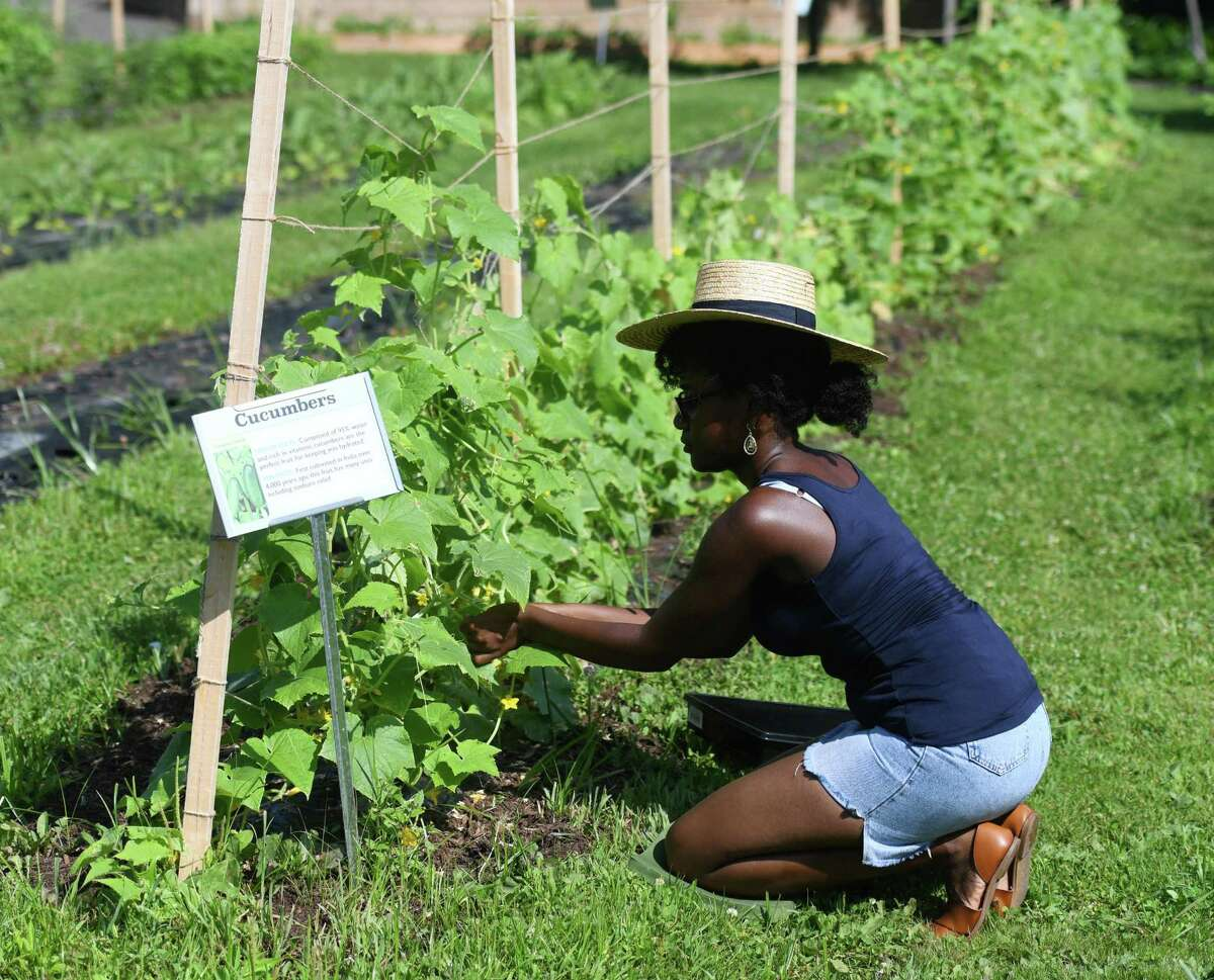 Westhill High School rising senior Dasani Mandza harvests cucumbers at Fairgate Farm in Stamford, Conn. Wednesday, July 17, 2019. Several students are working over the summer at Fairgate Farm to gain relevant work experience with their school studies.