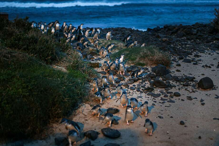 Penguins walk up from the shore at dusk on Phillip Island, Australia, July 10, 2019. An Australian state restored a habitat for the world's smallest penguins by removing every home from a coastal development. (Asanka Brendon Ratnayake/The New York Times) Photo: Asanka Brendon Ratnayake, NYT