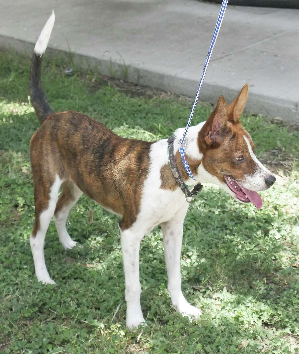 Pictured is a 6-month-old Lab mix tiger stripped dog who was looking for adoption at the Laredo Animal Care Services in 2019. LACS is partnering with the city to help vaccinate dogs for rabies and microchip them with an event on Thursday, Oct. 7.