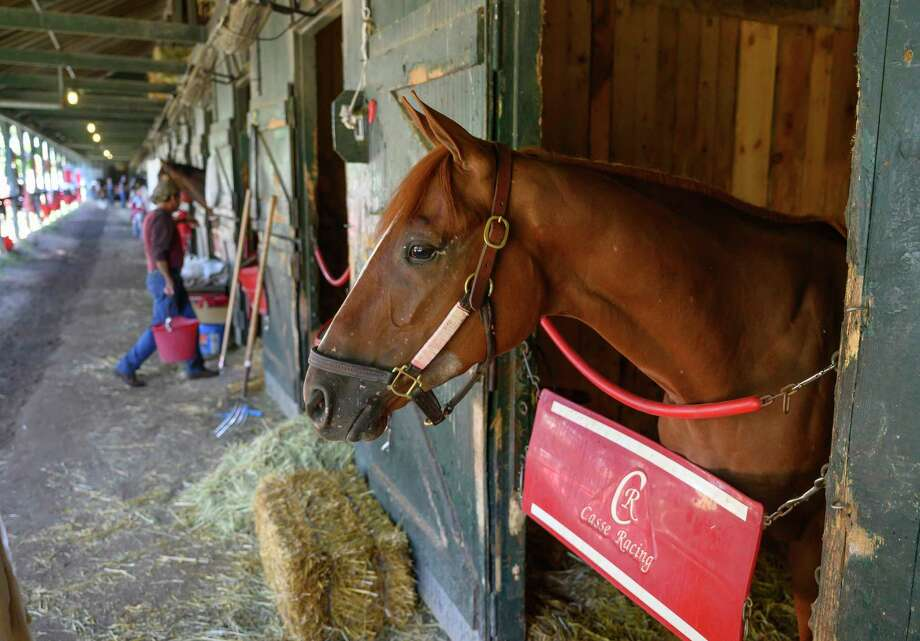 Fourstardave winner Got Stormy relaxes in the stall Sunday  Aug. 11, 2019 after beating the boys and getting a grade one win yesterday at the Saratoga Race Course in Saratoga Springs, N.Y. Photo by The Jockey Club