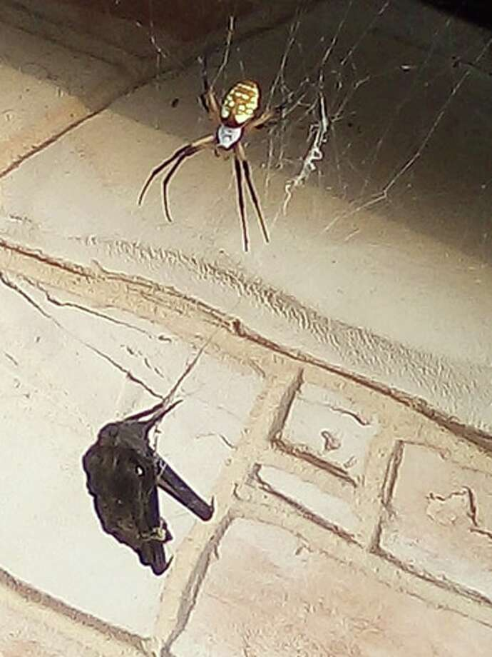 Annette Guajardo discovered this small bat tangled in the web of a massive spider outside her home in Poteet. Photo: Annette Alaniz Guajardo