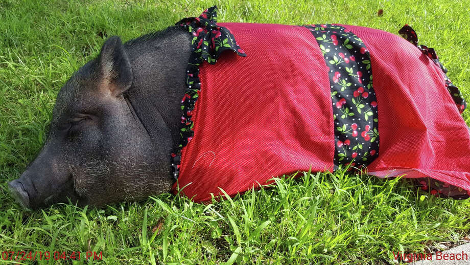 Pumpkin the pig wears a frock while taking a nap. Her owner is fighting to change a Virginia Beach law that bans pet pigs. Photo: Dani Guill. / Dani Guill