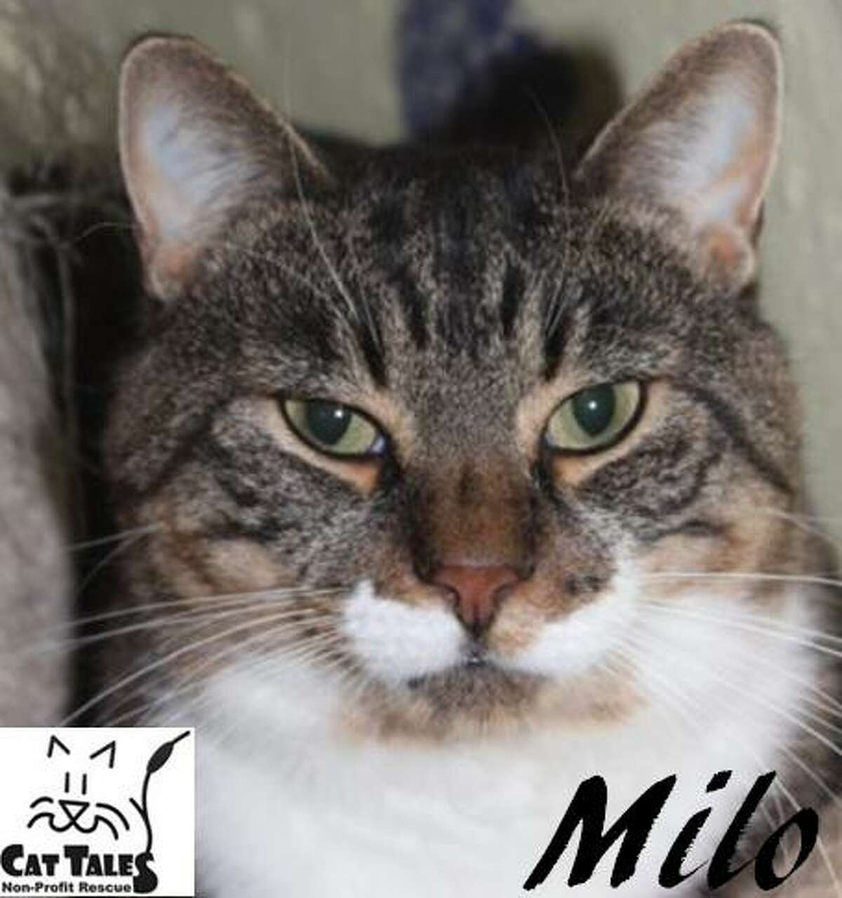 """""""I'm Milo and I've lived most of my life thus far outside, fending for myself. So I am stoked that I am now safe and cared for. Scratches and belly rubs are totally my thing and I really enjoy getting petted as well. I am very affectionate and loving. My best friend is Bailey. We'd love to be adopted together if possible. Our dream is that someone will adopt us and build us a catio (it's OK if you can't do this though). I'm FIV+and I'm not contagious to humans. This is also very difficult for other cats to catch (we'd have to exchange blood). I hope you are MY patient person who is willing to just love me for who I am. I'd love to curl up with you on the couch. Please adopt me, and maybe my best friend Bailey too?"""" Visit http://www.CatTalesCT.org/cats/Milo-2, call 860-344-9043 or email info@CatTalesCT.org. Watch our TV commercial: https://youtu.be/Y1MECIS4mIc"""