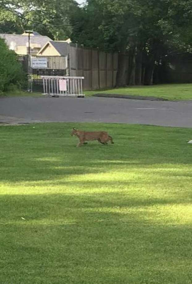 A Glenville resident spotted a bobcat in his backyard on Aug. 9, 2019, and took a photo. Photo: / Contributed