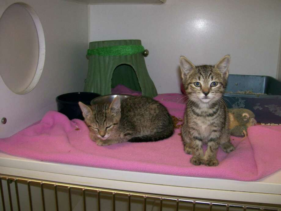 Contributed photo Photo: Female Kittens