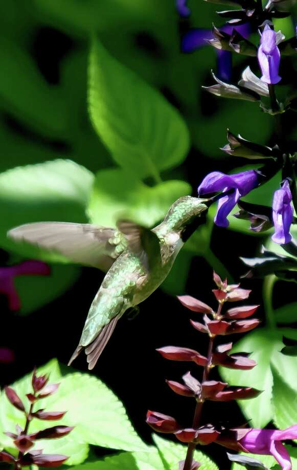 This male Ruby-throated hummingbird was seen feeding on Rockin' Deep Purple at Old Town in Columbus, Ga. Jerry Walls said he has experienced many hummingbirds one fall during migration, many less a couple of years later. Photo: Norman Winter, HO / TNS / TNS