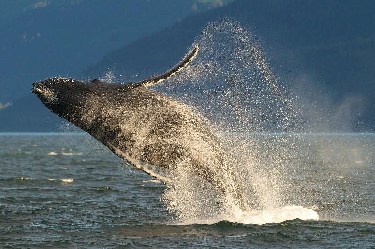 FILE - In this July 9, 2014 file photo, an adult humpback whale breaches in Lynn Canal near Juneau, Alaska. On Monday, April 20, 2015, the National Oceanic and Atmospheric Administration Fisheries said in a release that it is proposing removing most of the humpback whale population from the Endangered Species Act, announcing that protection and restoration efforts have led to an increase in humpbacks in many areas. (Michael Penn/Juneau Empire via AP, file)