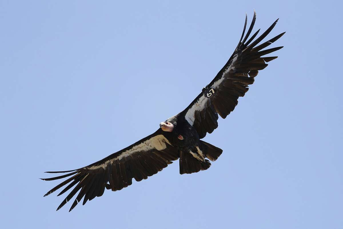 In this Wednesday, June 21, 2017, file photo, California condor No. 67 takes flight in the Ventana Wilderness east of Big Sur, Calif.