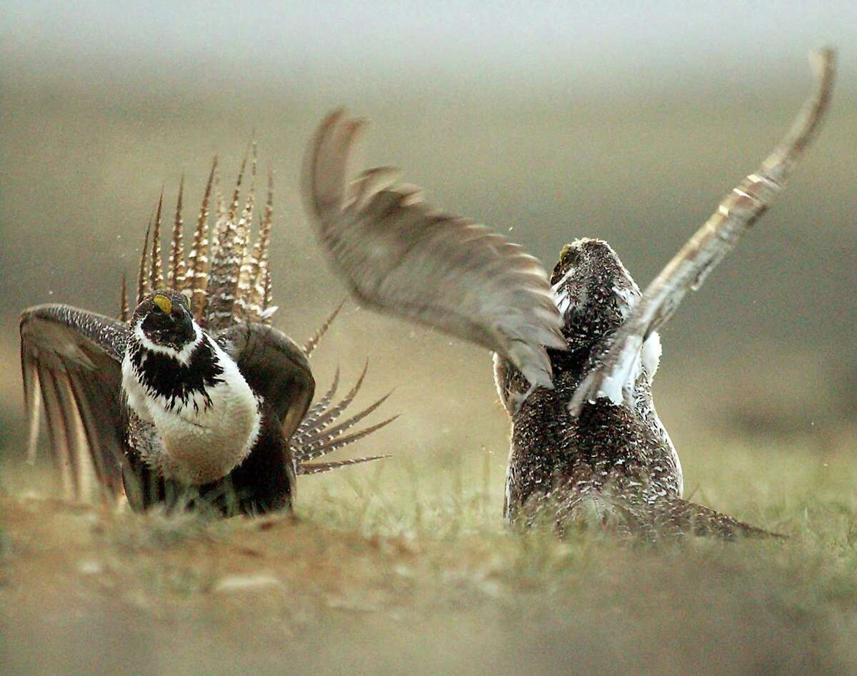 Male sage grouses fight for the attention of female southwest of Rawlins, Wyo. The Trump administration rolled back longstanding federal protections for endangered species such as the greater sage grouse.