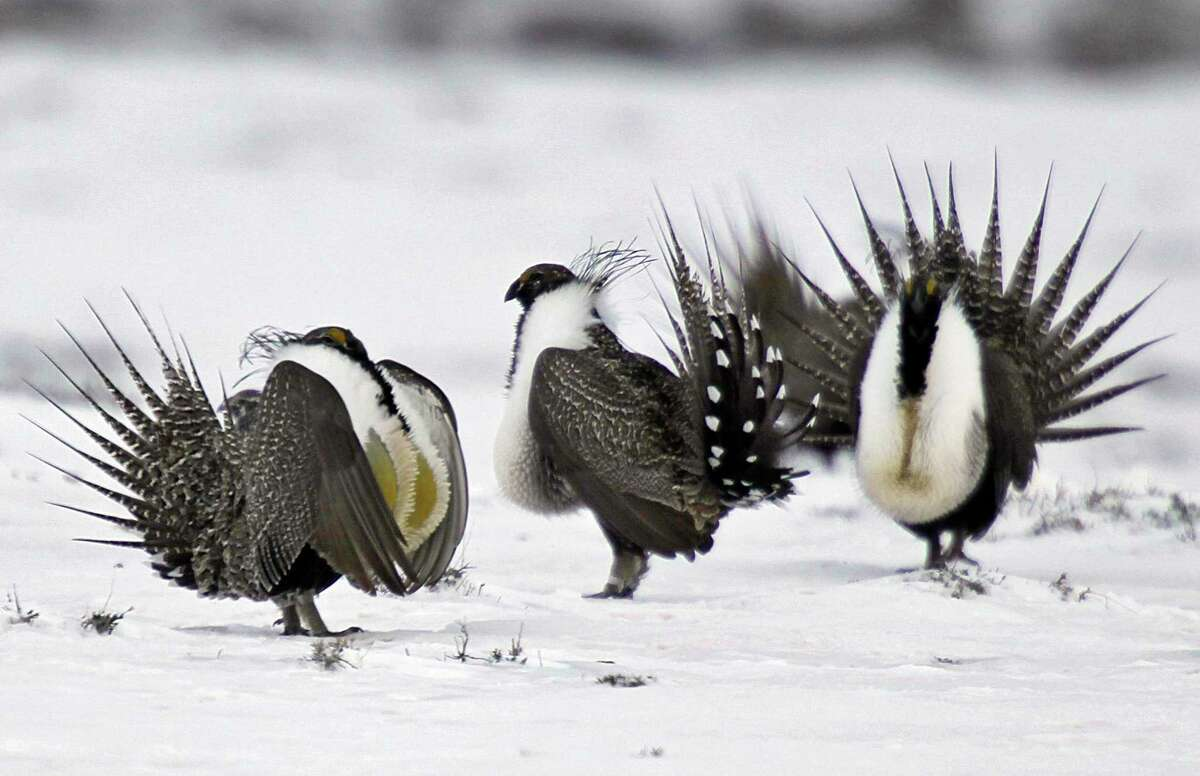 Male greater sage grouse perform mating rituals for a female grouse, not pictured, on a lake outside Walden, Colo. The Trump administration rolled back longstanding federal protections for endangered species such as the greater sage grouse.