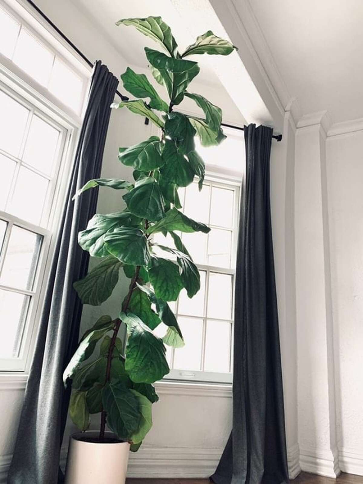 The tall, beautiful fiddle leaf fig in my friend Sarah Han's apartment.