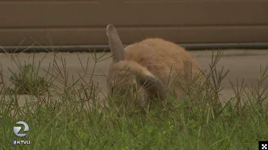 Domestic rabbits have infested the neighborhood of Almondridge in Antioch. Photo: Screenshot Via KTVU