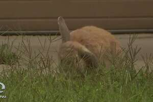 Domestic rabbits have infested the neighborhood of Almondridge in Antioch.