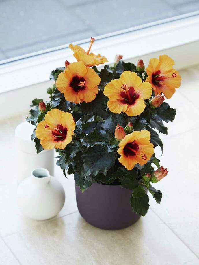 The hibiscus Petit Orange is part of a line of smaller-flowered, more compact hibiscus by Danish plant breeder Graff Breeding. Photo: Graff Breeding / The Washington Post