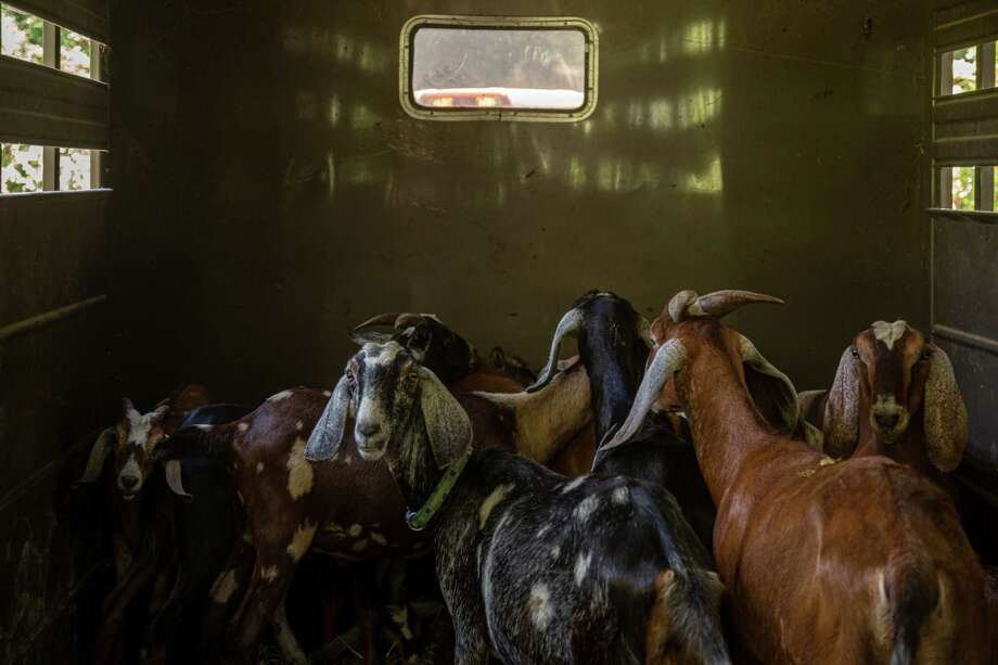 The Eco-Goats herd waits in a trailer before it is set loose to graze at an abandoned property in Townsend, Del. Photo: Photo For The Washington Post By Benjamin C Tankersley / For The Washington Post