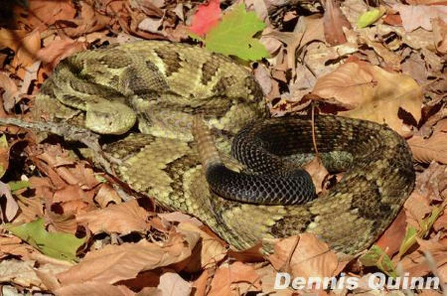Image of a timber rattlesnake. Two such snakes were found in a backyard in Glastonbury on Aug. 13, 2019. Photo: Contributed / Connecticut Department Of Energy And Environmental Protection