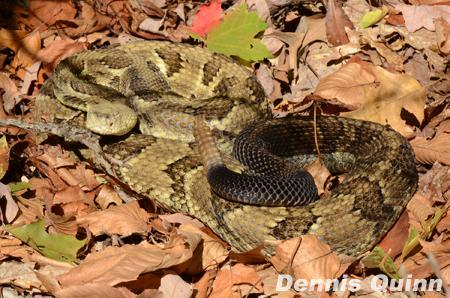 Timber rattlesnakes found at Glastonbury residence