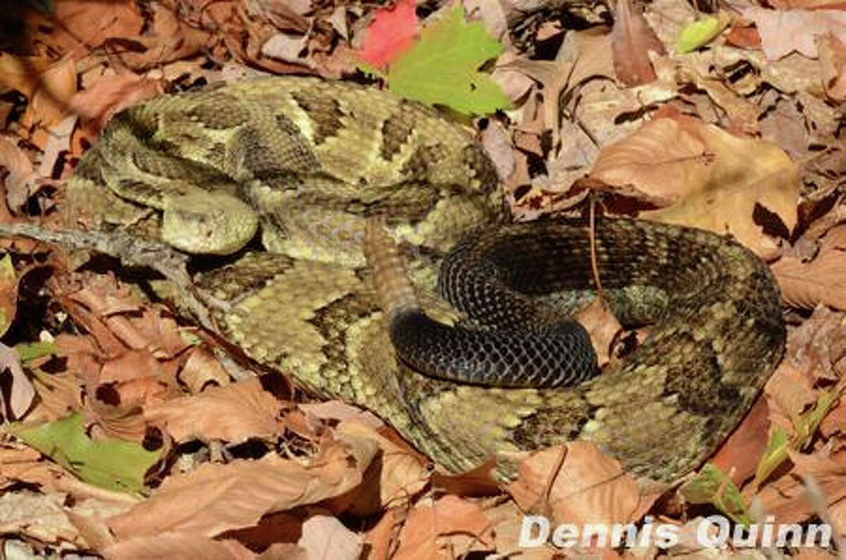 Image of a timber rattlesnake. Two such snakes were found in a backyard in Glastonbury on Aug. 13, 2019.