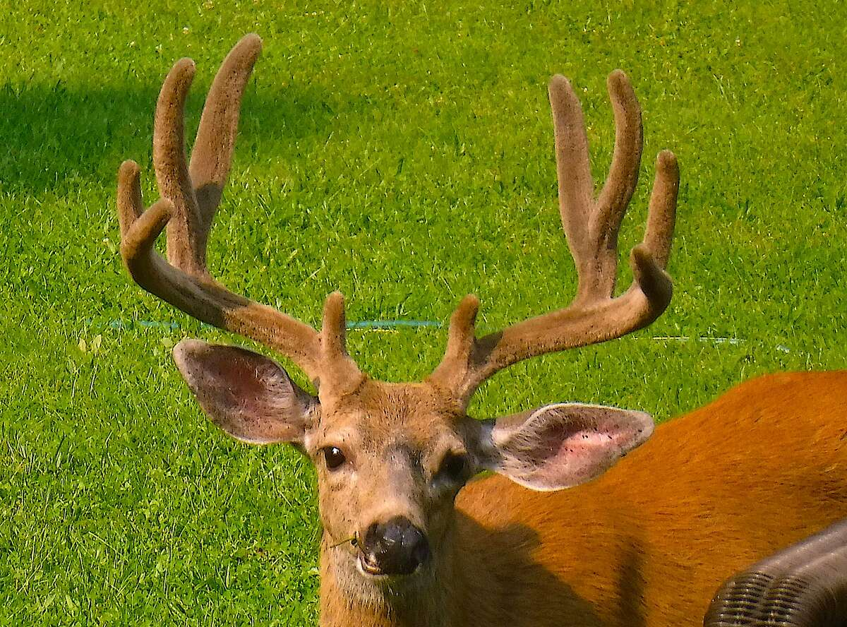 Deer in yards, golf courses and parks seem more abundant than ever in California, but declines in the wild overshadow the urban increases