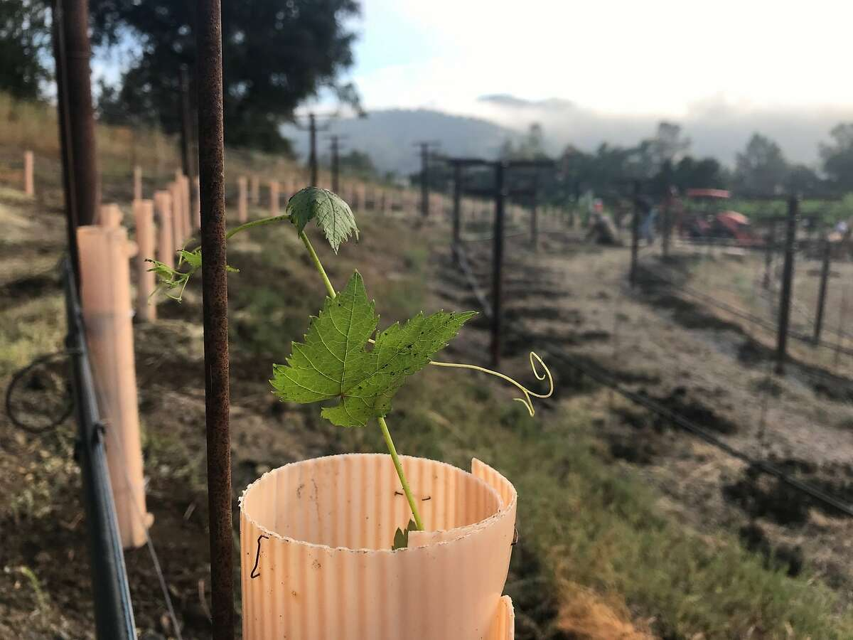 New Assyrtiko vines are planted at Nichelini Vineyard in Napa Valley. Winemaker Aimee Sunseri urged her family, which owns Nichelini, to plant the Greek grapevine based on the success it's had at New Clairveaux Vineyard in Vina, Calif.