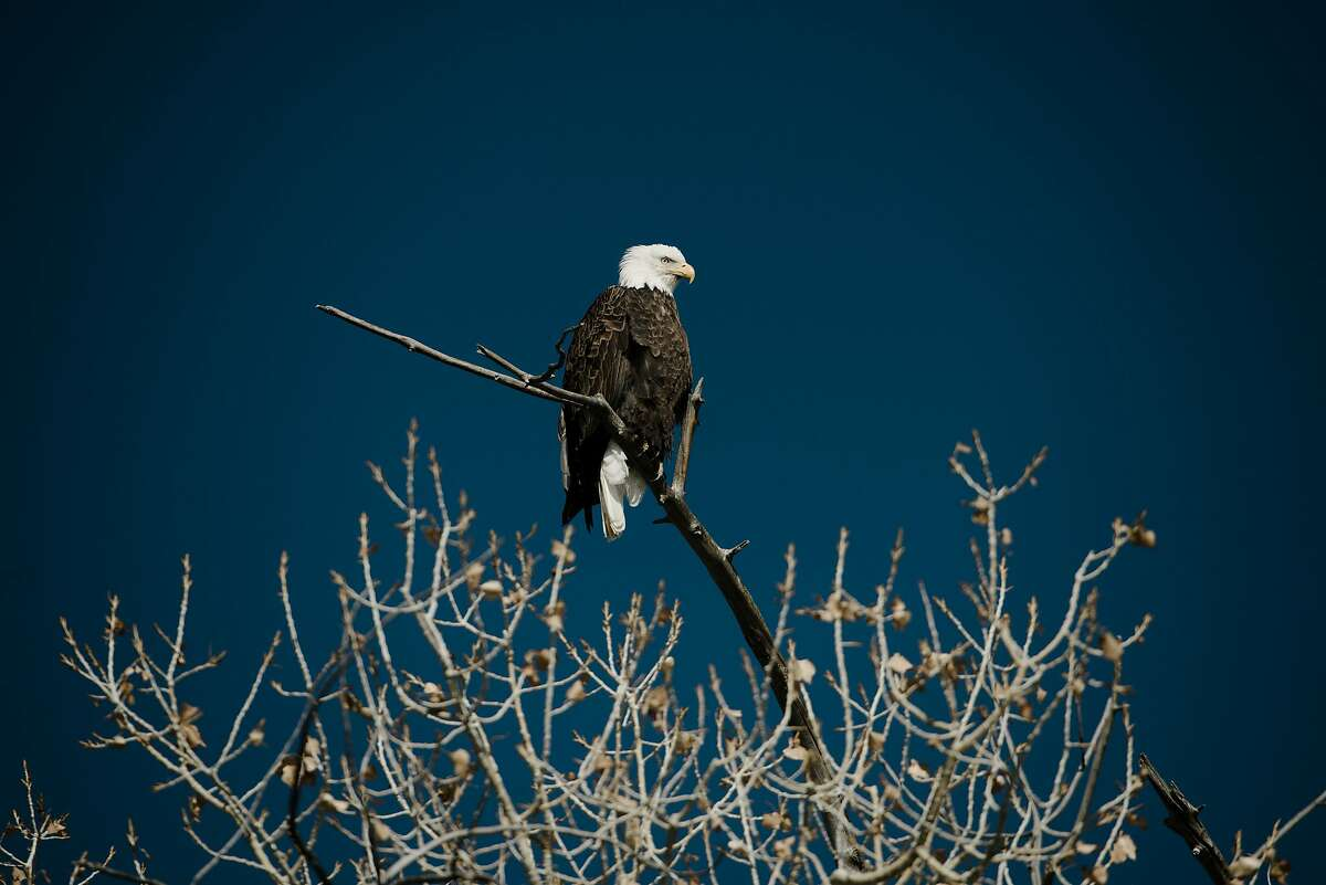 A bald eagle, one of the Endangered Species Act's success stories, is seen perched atop a tree branch over looking the countryside near Castle Dale, Utah. The Trump administration on Aug. 12, 2019, announced that it would change the way the Endangered Species Act is applied, significantly weakening the nation's bedrock conservation law.