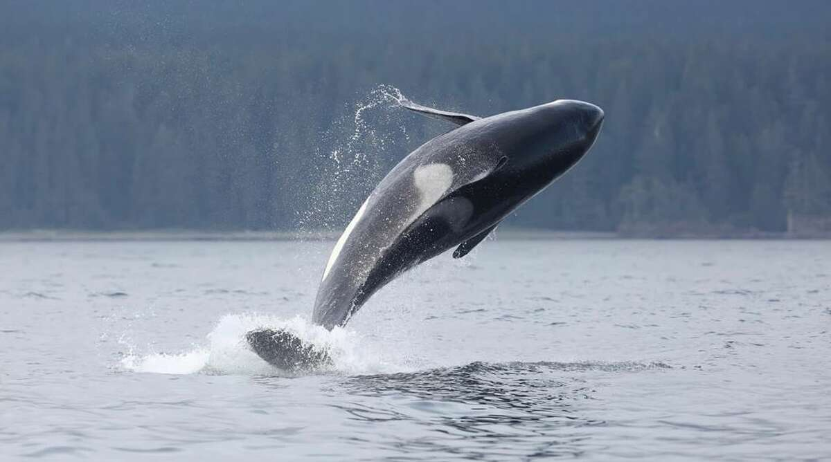 J39 leaps from waters near Vancouver Island on Aug. 11, 2019.
