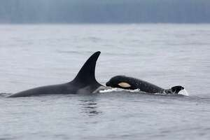L77 and child L124 swim in waters near Vancouver Island on Aug. 11, 2019.