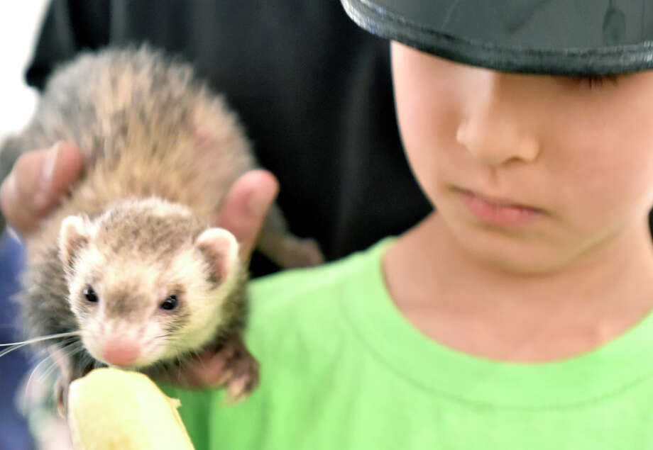Branford, Connecticut - Tuesday, August 13, 2019: Camper Nicolae, 7,  of Guilford with a ferret at the Branford Animal Camp that hosted the interactive educational program by Ron DeLucia and his son Patrick DeLucia and their Curious Creatures of Branford for the Branford Animal campers Tuesday afternoon at the  Willoughby Wallace Library in Stony Creek. The program included a close touch and feel with a Chinchilla, Hedgehog, Guinea Pig, Skunk, Ferret, Alligator, Boa Constrictor, Ball Python and an Alligator. The Branford Animal Camp provides an educational program that allows children to interact and learn about different animals, how to protect them,  and develop an appreciation for the environment while playing outdoors. The camp has sessions for children aged 6-11 and 4-6. Photo: Peter Hvizdak, Hearst Connecticut Media / New Haven Register