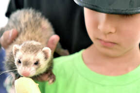 Branford, Connecticut - Tuesday, August 13, 2019: Camper Nicolae, 7, of Guilford with a ferret at the Branford Animal Camp that hosted the interactive educational program by Ron DeLucia and his son Patrick DeLucia and their Curious Creatures of Branford for the Branford Animal campers Tuesday afternoon at the Willoughby Wallace Library in Stony Creek. The program included a close touch and feel with a Chinchilla, Hedgehog, Guinea Pig, Skunk, Ferret, Alligator, Boa Constrictor, Ball Python and an Alligator. The Branford Animal Camp provides an educational program that allows children to interact and learn about different animals, how to protect them, and develop an appreciation for the environment while playing outdoors. The camp has sessions for children aged 6-11 and 4-6.