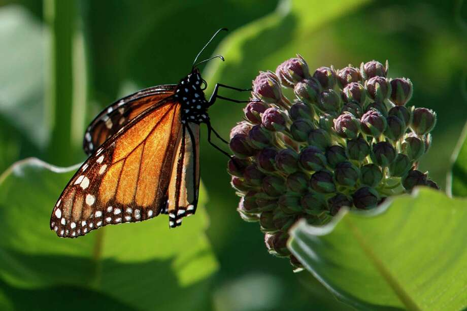A monarch butterfly perches on milkweed at the Patuxent Wildlife Research Center in Laurel, Md., Friday, May 31, 2019. Farming and other human development have eradicated state-size swaths of its native milkweed habitat, cutting the butterfly's numbers by 90% over the last two decades. It is now under considered for listing under the Endangered Species Act. (AP Photo/Carolyn Kaster) Photo: Carolyn Kaster / Copyright 2018 The Associated Press. All rights reserved