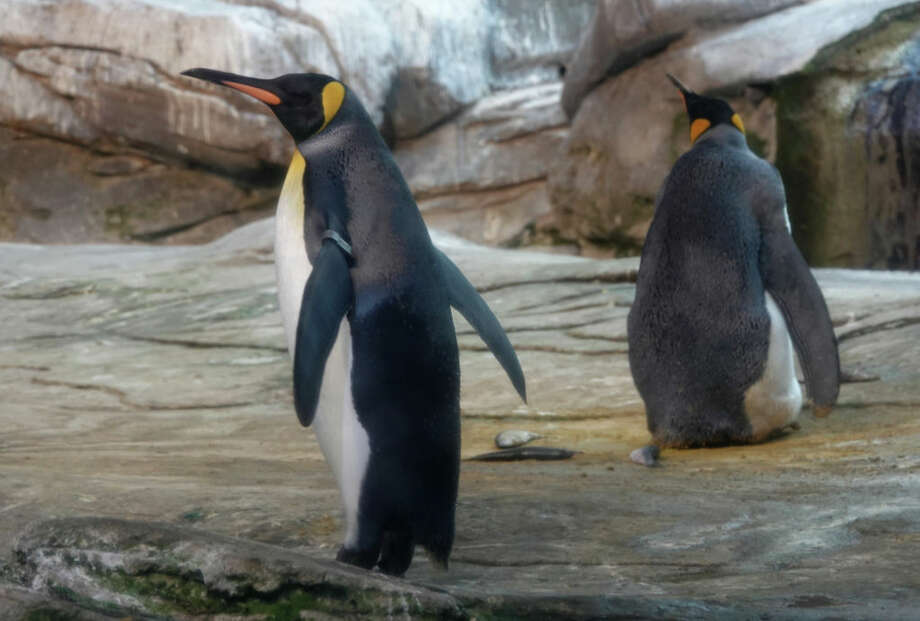 09 August 2019, Berlin: The gay king penguins Skipper and Ping in their zoo enclosure. The two penguin men behaved like exemplary parents and warmed the egg alternately in their belly fold. Photo: Taylan Gökalp/dpa (Photo by Taylan Gökalp/picture alliance via Getty Images) Photo: Picture Alliance/picture Alliance Via Getty Image / (c) Copyright 2019, dpa (www.dpa.de). Alle Rechte vorbehalten