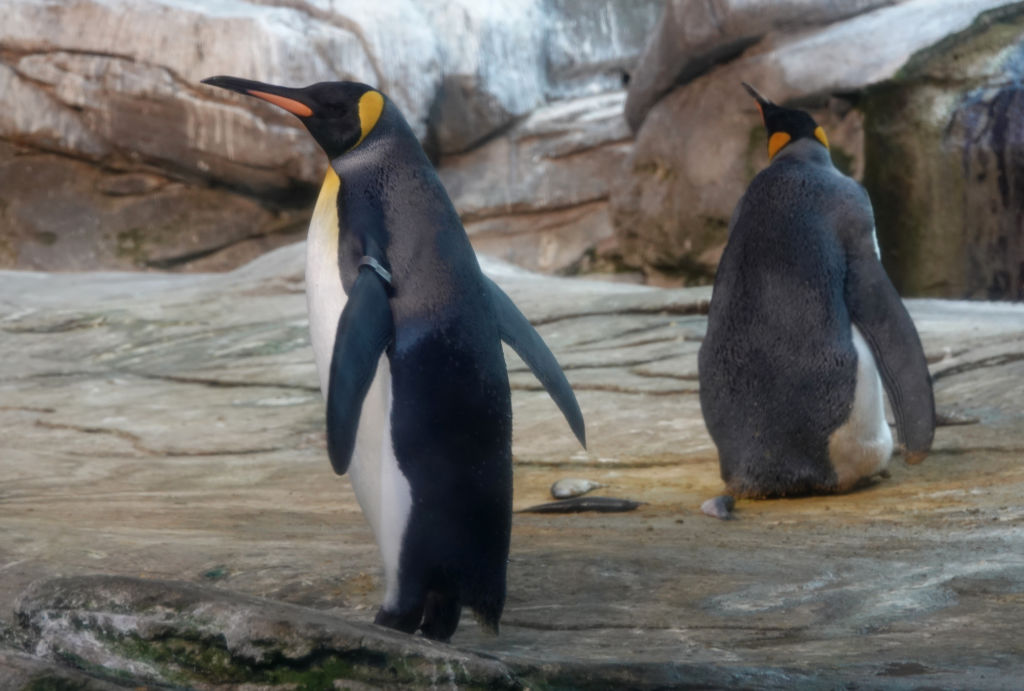 Same-sex penguin couples keep adopting eggs, and the Berlin Zoo is celebrating