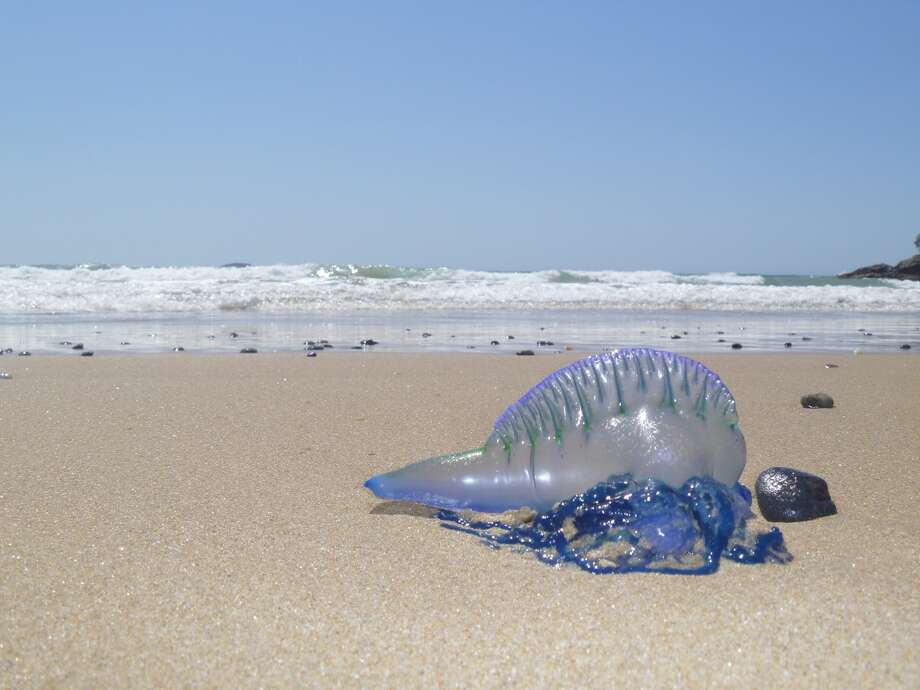 A Portuguese man-of-war lies on a beach in this file photo. Photo: Wildlife_Walk/Getty Images/iStockphoto / Wildlife_Walk
