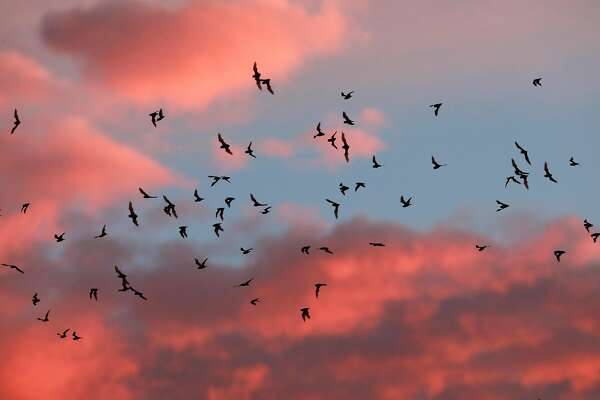 Bats' nightly 'fly out' is spectacle to behold in Sacramento