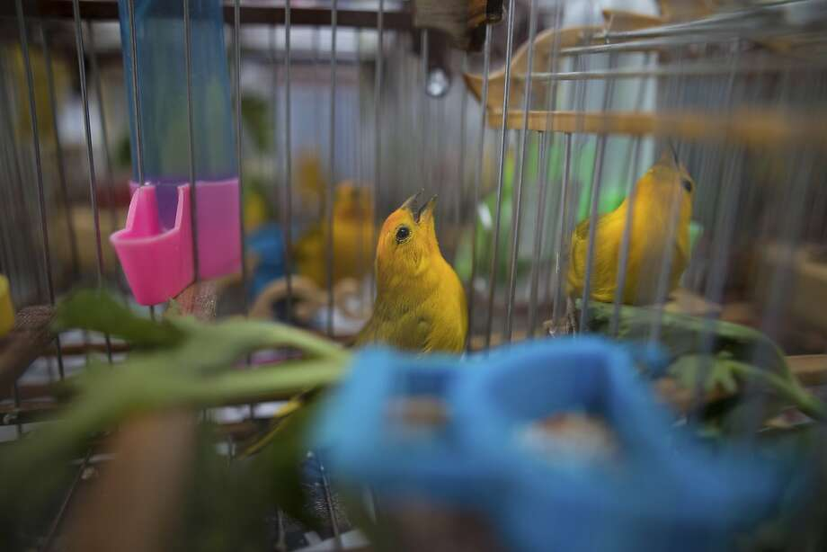 Wild canaries caught by traffickers sing in a quarantined area of a wildlife center in Bogota before being released. Photo: Ivan Valencia / Associated Press